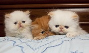 Чистокровні перські кошенята