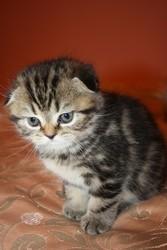 Продам вислоухую шотландскую кошечку!