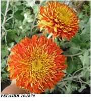 Хризантема крупноцветковая - маточники