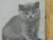 Шотландские плюшевые  котятки