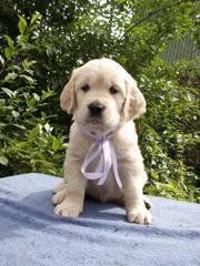 Алиментный щенок Голден Ретривера.