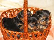 йоркширские терьеры,  продаются щенки