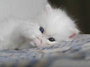 Белый пушистик с голубыми глазами