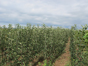 Яблоня, груша, абрикос, слива, сл диплоидная идр. саженцы, сажанцы, саджанці