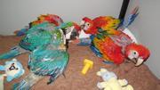 Детские попугаи и плодородные яйца