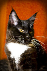 Котёнок мейн-кун,  окрас смокинг,  паспорт,  прививки,  5 месяцев,  мальчик
