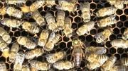 Карника матки пчелиные..