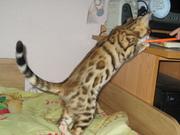 Бенгальские котята (мини леопардики)